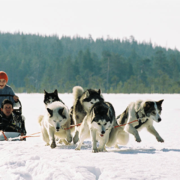 Holidays to Lapland: Husky Safari