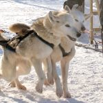 Husky in Winter Lapland