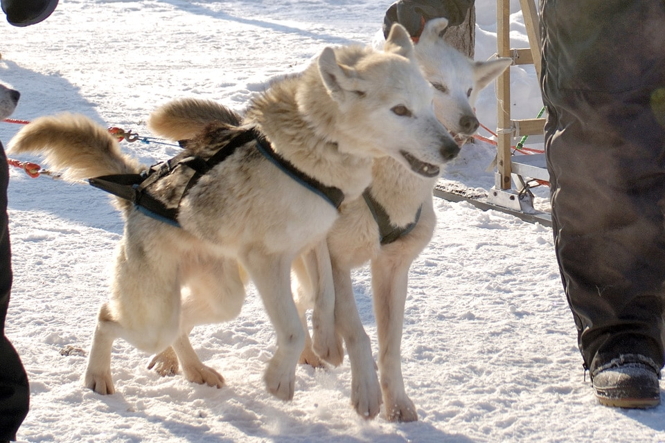 Husky in Winter Lapland