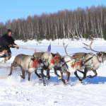 Reindeer Driving in Rovaniemi, Lapland