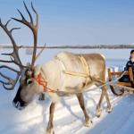Reindeer Farm in Rovaniemi, Finnish Lapland